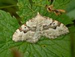 Xanthorhoe montanata (Schwarzbraunbinden-Blattspanner) / CH BE Hasliberg 1240 m 03. 06. 2014