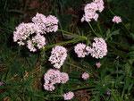 Valeriana officinalis (Arznei-Baldrian) / VALERIANACEAE