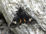 Coranarta cordigera (Moor-Bunteule) / CH UR Wassen Meiental, Gitzichrummenflue 1900 m, 24. 06. 2016