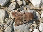 Orthosia gothica (Gothica Kätzcheneule) / CH VD Rougemont La Manche 1300 m, 01. 04. 2014