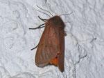 Phragmatobia fuliginosa (Zimtbär) / CH BE Hasliberg 1050 m, 05. 08. 2013