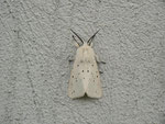 Spilosoma lubricipeda (Weisse Tigermotte, Männchen) / CH BE Hasliberg 1050 m, 30. 05. 2014