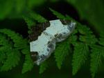 Mesoleuca albicillata (Brombeeer-Blattspanner) / CH BE Reichenbach i.K., Faltschen, Bawald 1565 m, 30. 06. 2020