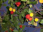 Arbutus unedo (Erdbeerbaum) / Ericaceae