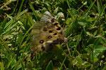 Parnassius phoebus (Hochalpen-Apollo, frisch geschlüpftes Weibchen) / CH VS Obergoms 2200 m, 27. 07. 2020