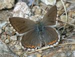 Polyommatus coridon (Silbergrüner Bläuling, Weibchen) / CH VS Saastal, Saas Almagell, Moosgufer, alter Mitlitärweg, 1910 m, 12. 08. 2011
