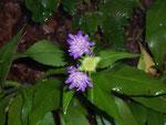 Knautia dipsacifolia/ DIPSACACEAE