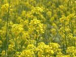 Brassica napus (Raps) / Brassicaceae