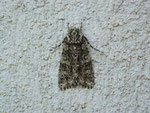 Acronicta rumicis (Ampfer-Rindeneule) / CH BE Hasliberg 1050 m, 01. 06. 2014