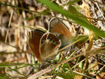 Coenonympha gardetta / CH VS Mund 1378 m, 03. 07. 2014