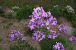 Hesperis matronalis (Nachtviole) / Brassicaceae