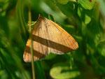 Itame brunneata (Waldmoorspanner, Männchen) / CH BE Hohgant 1860 m, 30. 07. 2012
