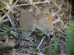 Lycaena phlaeas phlaeoides (Kleiner Feuerfalter) / CH TI Gudo 240 m, 01. 04. 2015