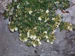 Teucrium montanum (Berg-Gamander) / Lamiaceae