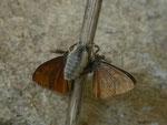 Orgyia antiqua (Schlehen-Bürstenspinner) / CH BE Hasliberg 1060 m,  01. 07. 2018. Mehrere Männchen versuchten eine Paarung mit dem Weibchen. Hier ein Ringen von zwei Männchen um das Weibchen.