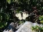 Zerynthia cretica (Männchen) / Griechenland Kreta, Omalos 1200 m, 15. 05. 2011