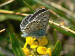 Polyommatus hispana (dasselbe Männchen) / E Region Girona-Figueres, Embalse de Boadella 200 m, 10. 05. 2012