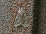 Acronicta euphorbiae (Wolfsmilch-Rindeneule) / CH BE Hasliberg 1100 m, 28. 06. 2013