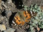 Vanessa cardui (Distelfalter) / Spanien Kanarische Inseln, Gran Canaria, Embalse de Cueva de las Niñas,  08. 02. 1012