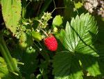 Fragaria (Erdbeere) / Rosaceae