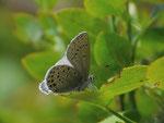 Plebejus optilete (Moor-Heidelbeer-Bläuling) / CH UR Meiental, Gitzichrummenflue 1613 m, 13. 07. 2017