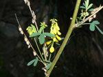 Melilotus officinalis (Echter Steinklee oder Gebräuchlicher Honigklee) / Fabaceae