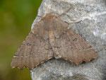Odontopera bidentata (Doppelzahnspanner, Zuchtfalter aus gefundener Raupe) / CH BE Hasliberg 1050 m, 11. 05. 2015