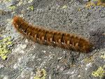 Lasiocampa quercus (Eichenspinner, erwachsene Raupe) / CH GR Camischolas Alp Bauns 1957 m, 30. 08. 2013