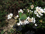Callophrys rubi (Brombeer-Zipfelfalter) / CH BE Hasliberg 1050 m, 10. 04. 2014