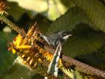 Sylvia melanocephala (Samtkopfgrasmücke, Männchen)