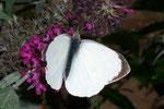 Pieris brassicae (Grosser Kohlweissling, Männchen) / CH BE Hasliberg 1050 m, 23. 09. 2006