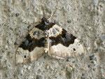 Cosmorhoe ocellata (Schwarzaugen-Bindenspanner) / CH BE Hasliberg 1050 m, 19. 05. 2012