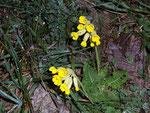 Primula (Schlüsselblume) / PrimulaceaePlantago (Wegerich) / Plantaginaceae