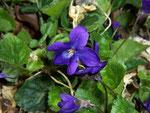 Viola odoerata (Wohlriechendes Veilchen) / VIolaceae