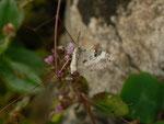 Perizoma blandiata (Augentrost-Kapselspanner) / CH BE Hasliberg 1260 m, 01. 08. 2016
