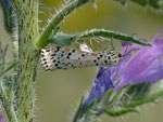 Utetheisa pulchella (Punktbär (dasselbe Weibchen bei der Eiablage) / F Provence, Avignon, Rhônekanal 21 m, 12. 05. 2012