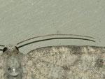 Charissa glaucinaria (Grüngraugebänderter Felsen-Steinspanner, Weibchen) / CH BE Hasliberg 1050 m,  10. 09. 2012