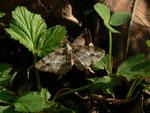 Paradarisa consonaria (Glattbindiger Rindenspanner) / CH OW Lungern 1260 m, 01. 06. 2017