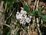 Valeriana tripteris (Dreiblättriger Baldrian) / Valerianaceae