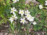 Cerastium spec. (Hornkraut) / Caryophyllaceae