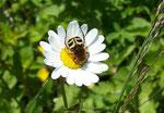 Chrysanthemum (Margerite) 7 ASTERACEAE