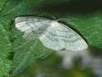 Cabera exanthemata (Braunstirn-Weissspanner, Männchen) / CH UR Urserental, Realp 1535 m, 29. 06. 2012