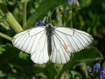 Aporia crataegi (Baumweissling) / CH BE Hasliberg 1180 m, 11. 06. 2017