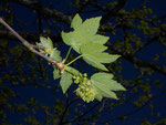Acer pseudoplantanus (Berg-Ahorn) / Aceraceae