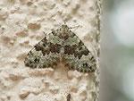 Colostygia laetaria (Baldrian-Bindenspanner) / CH BE Hasliberg 1240 m, 26. 06. 2013