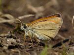 Thymelicus sylvestris (Braunkolbiger Braundickkopffalter) / CH VS Simplongebiet 2165 m, 24. 08. 2016