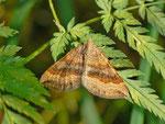 Scotopteryx chenopodiata (Braungebänderter Linienspanner) / CH BE Hasliberg 1230 m, 28. 07. 2013