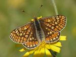 Euphydryas aurinia (Skabiosen-Scheckenfalter, Weibchen) / CH VD La Comballaz Grand Joux 1545 m, 04. 06. 2015