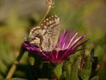 Cacyreus marshalli (Pelargonien-Bläuling) / CH GR Santa Maria in Calanca 911 m, 18. 11. 2015