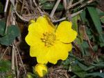 Potentilla aurea (Goldfingerkraut) / Rosaceae